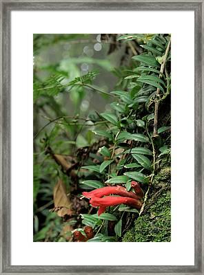 Lipstick Plant Flowers Framed Print