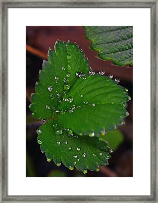 Liquid Pearls On Strawberry Leaves Framed Print by Lisa Phillips