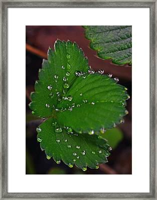 Liquid Pearls On Strawberry Leaves Framed Print
