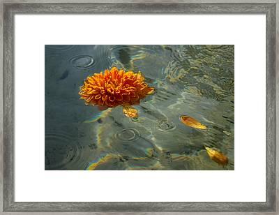 Liquid Rainbows - Chrysanthemum Blossom Floating In The Sunlight Framed Print