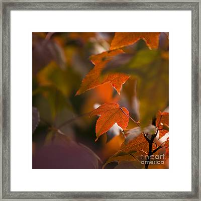 Liquidambar Autumn Framed Print by Anne Gilbert