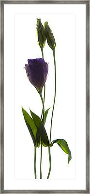 Lisianthus Duo Framed Print