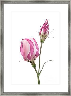 Lisianthus Love 2 Framed Print by Ann Garrett