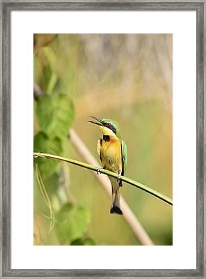 Little Bee-eater Framed Print by Andy-Kim Moeller