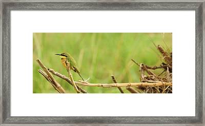 Little Bee-eater Framed Print by Kailen Padayachee
