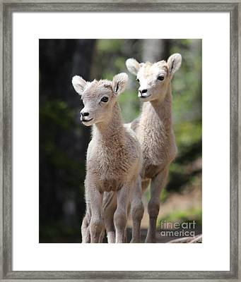Little Bighorns Framed Print by Marty Fancy