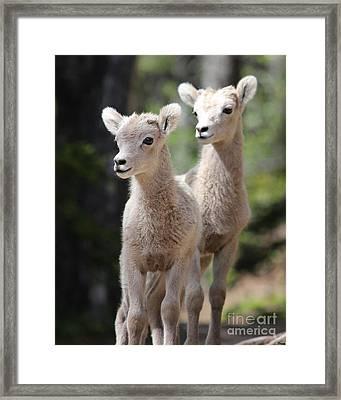 Little Bighorns Framed Print