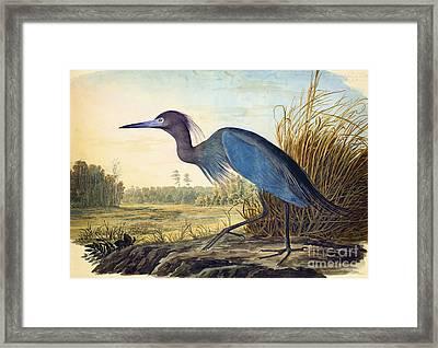 Little Blue Heron Framed Print by Celestial Images