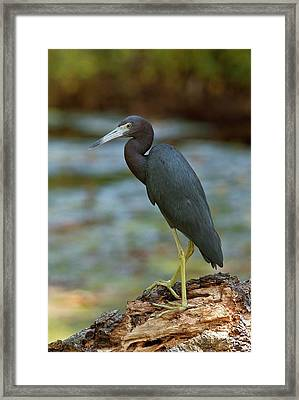 Little Blue Heron By A River Framed Print by Bob Gibbons