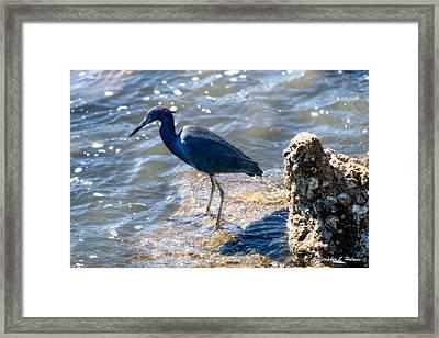 Little Blue Heron Framed Print by Christopher Holmes