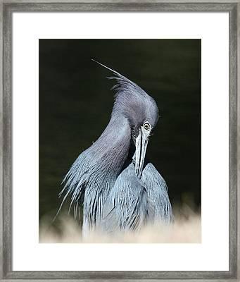 Little Blue Heron Closeup  Framed Print by David Lynch