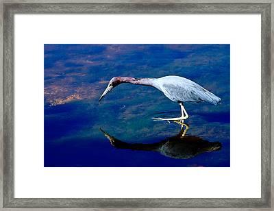 Little Blue Heron Fishing Framed Print
