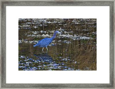 Framed Print featuring the photograph Little Blue Heron by Gary Hall