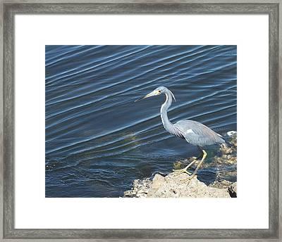 Little Blue Heron II Framed Print