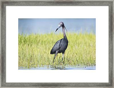 Little Blue Heron In The Marsh Framed Print by Bob Decker