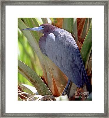 Little Blue Heron Male In Breeding Framed Print by Millard H. Sharp