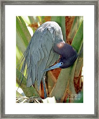 Little Blue Heron Male Preening Framed Print by Millard H. Sharp