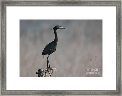 Little Blue Heron Portrait Framed Print by Robert Frederick