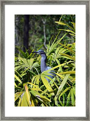 Framed Print featuring the photograph Little Blue Heron by Robert Meanor