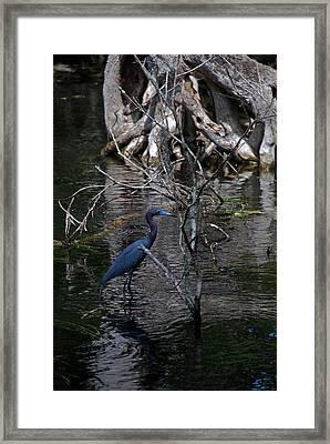 Little Blue Heron Framed Print by Skip Willits