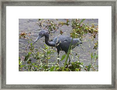 Little Blue Heron - Waiting For Prey Framed Print by Christiane Schulze Art And Photography