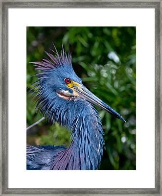 Little Blue Heron's Crest Framed Print