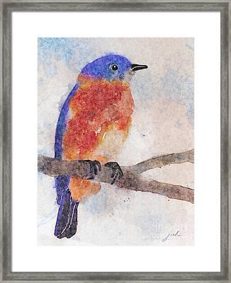 Little Bluebird Framed Print by Joan A Hamilton