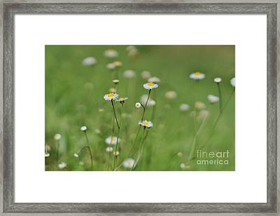 Little Daisies 2 Framed Print by Lynda Dawson-Youngclaus