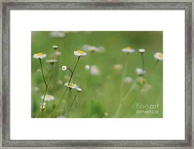 Little Daisies Framed Print