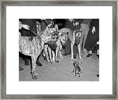 Little Dog Meets Big Dogs Framed Print