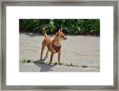 Little Dog On High Alert Framed Print