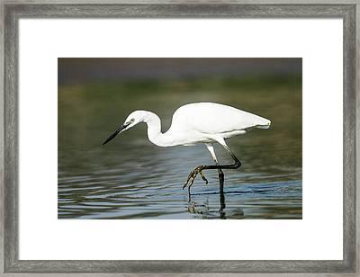 Little Egret (egretta Garzetta) Framed Print by Photostock-israel