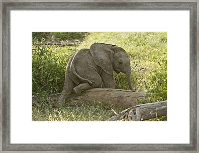 Little Elephant Big Log Framed Print