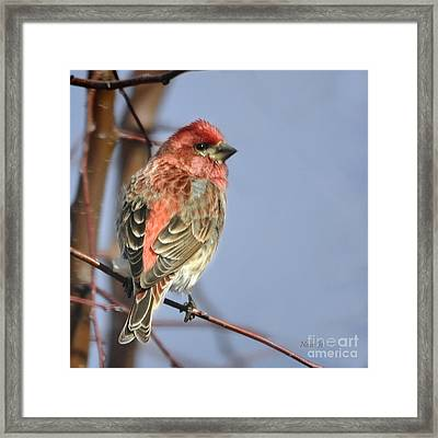 Little Finch Framed Print by Nava Thompson