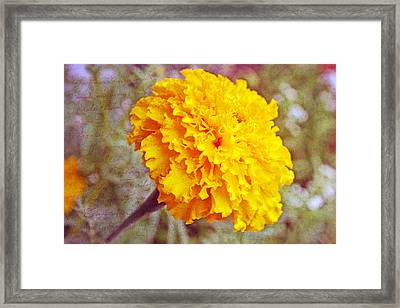 Framed Print featuring the photograph Little Golden  Marigold by Kay Novy
