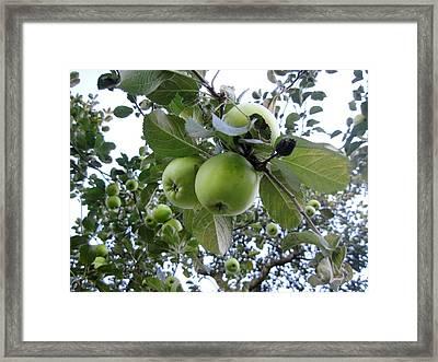Little Green Apples Framed Print by Patricia E Sundik