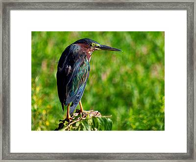 Little Green Heron 002  Framed Print by Chris Mercer