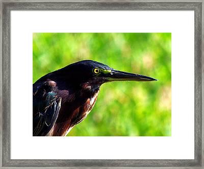 Little Green Heron 004 Framed Print by Chris Mercer