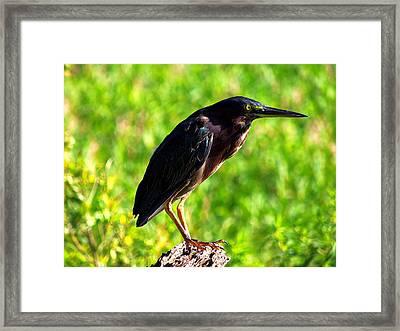 Little Green Heron 005 Framed Print by Chris Mercer