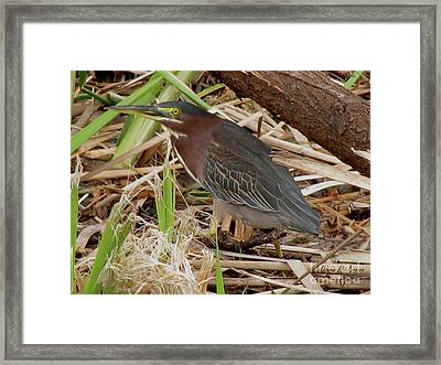 Framed Print featuring the photograph Little Green Heron by Donna Brown