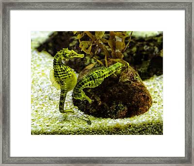 Little Green Seahorses Framed Print