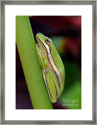 Little Green Tree Frog Framed Print by Kathy Baccari