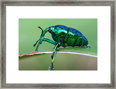 Little Green Weevil Framed Print by Craig Lapsley