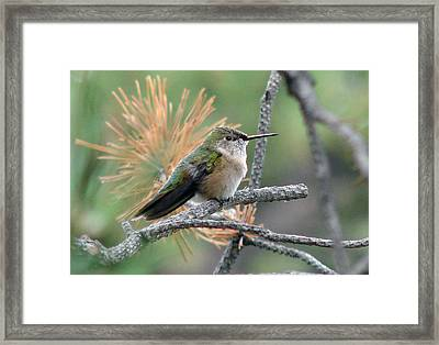 Little Hummer At Rest Framed Print