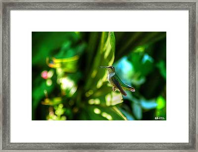 Framed Print featuring the photograph Little Humming Bird by Ed Roberts