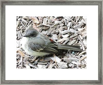 Little Junco Framed Print by Chrissey Dittus