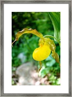Little Lady Slipper Framed Print