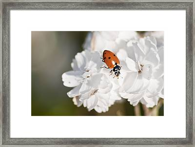 Little Ladybug On Baby's Breath Framed Print