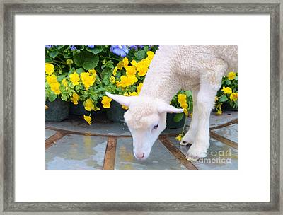 Little Lamb Framed Print by Kathleen Struckle