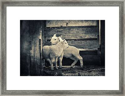 Little Lambs Playing Together Framed Print by Maria Angelica Maira